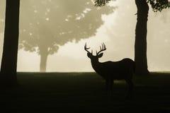 Wit-de steel verwijderde van hertenbok op mistige ochtend Stock Foto