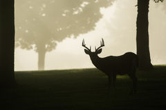 Wit-de steel verwijderde van hertenbok op mistige ochtend Stock Fotografie