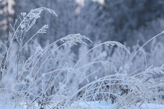 Wit die de Wintertakjes en gras met vorst en sneeuw worden behandeld Stock Fotografie