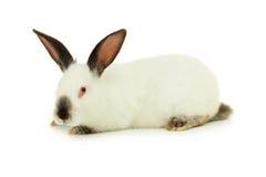 Wit die konijn op een wit wordt geïsoleerd Stock Foto
