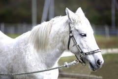 Wit die paard bij het farmWhitepaard wordt gebonden bij het landbouwbedrijf wordt gebonden Zachte nadruk stock afbeelding