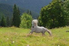 Wit die paard in groen gras in werking wordt gesteld Royalty-vrije Stock Foto's