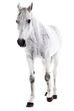 Wit die paard op wit wordt geïsoleerd Stock Foto