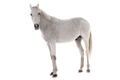 Wit die paard op wit wordt geïsoleerd Stock Afbeelding