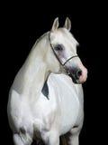 Wit die paard op zwarte wordt geïsoleerd Stock Foto