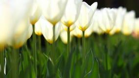 Wit die tulpen in warm licht uitstralen Stock Foto's