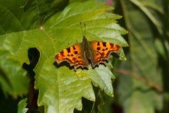 Wit die vlinderc Polygonia c-album op een wijnstokblad wordt neergestreken Stock Foto's