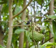 Wit-doen zwellen Emerald Bird On Soursop Tree-Tak royalty-vrije stock afbeeldingen