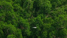 Wit-doen zwellen overzees-Eagle - Haliaeetus leucogaster- stock video