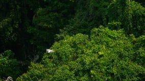 Wit-doen zwellen overzees-Eagle Haliaeetus leucogaster stock videobeelden