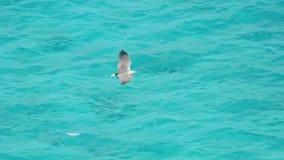 Wit-doen zwellen overzees-Eagle (Haliaeetus leucogaster) stock video