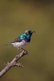 Wit-doen zwellen Sunbird Stock Fotografie