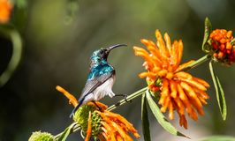 Wit-doen zwellen Sunbird royalty-vrije stock fotografie