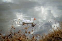 Wit Duck With een Bosje van het Ruien bevedert op Hoofd Royalty-vrije Stock Afbeelding
