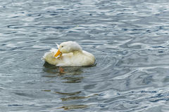 Wit Duck Preening bij Meer royalty-vrije stock afbeeldingen