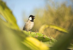 Wit-eared bulbul royalty-vrije stock foto