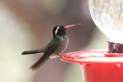 Wit-eared Kolibrie Royalty-vrije Stock Foto
