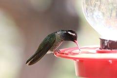 Wit-eared Kolibrie Stock Foto's