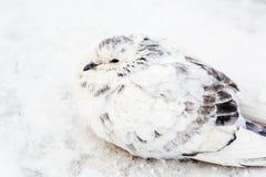 Wit en de Koude Winter van Gray Pigeon Bird Freezing In stock fotografie