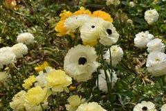 Wit en geel nam schoonheid toe Stock Afbeelding