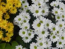 Wit en Gele margrietbloem royalty-vrije stock foto