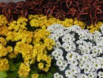 Wit en Gele margrietbloem royalty-vrije stock afbeelding