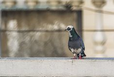 Wit en Gray Rock Pigeon: Columba livia royalty-vrije stock afbeelding