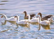 Wit en Grey Geese-ocapadovana die in een klein meer zwemmen royalty-vrije stock afbeelding