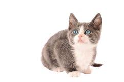 Wit en Grey Kitten Royalty-vrije Stock Foto