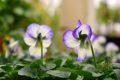 wit en purper violet bloem achterperspectief, onscherpe achtergrond royalty-vrije stock afbeeldingen