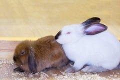 Wit en rood konijn Royalty-vrije Stock Foto's