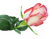 Wit en rood nam hartclose-up toe Royalty-vrije Stock Foto's