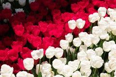 Wit en rood tulpengebied onder de lentezonlicht Royalty-vrije Stock Afbeeldingen