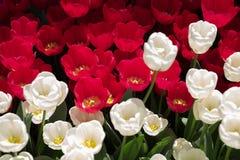 Wit en rood tulpengebied onder de lentezonlicht Royalty-vrije Stock Foto