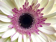 Wit en roze gerberamadeliefje Stock Fotografie