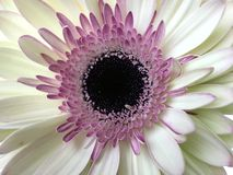 Wit en roze gerberamadeliefje Royalty-vrije Stock Fotografie