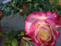 Wit en roze nam toe Royalty-vrije Stock Afbeeldingen
