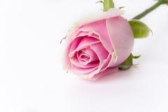 Wit en roze nam toe Royalty-vrije Stock Afbeelding