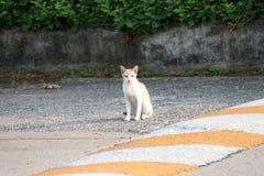 Wit en weinig oranje streepkleur van verdwaalde kattenzitting op de weg de kat is een klein geacclimatiseerd vleesetend zoogdier  stock foto