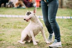Wit Engels Bull terrier Bullterrier die zich dichtbij Vrouwenvoeten bevinden stock foto