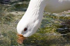 Wit gans drinkwater royalty-vrije stock afbeeldingen