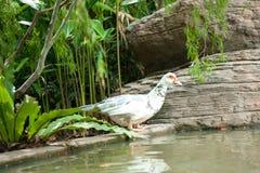 Wit gans drinkwater in zonneschijn Royalty-vrije Stock Foto's