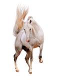 Wit geïsoleerdi paard Stock Afbeeldingen