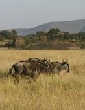 Wit-gebaarde Wildebeest Stock Afbeeldingen