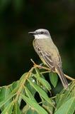 Wit-geringde Vliegenvanger (albovittatus Conopias) Royalty-vrije Stock Afbeelding