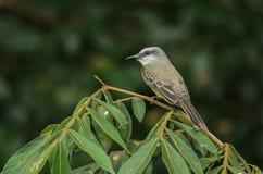 Wit-geringde Vliegenvanger (albovittatus Conopias) Royalty-vrije Stock Foto's