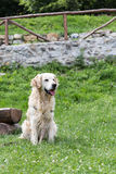 Wit golden retriever Stock Afbeelding