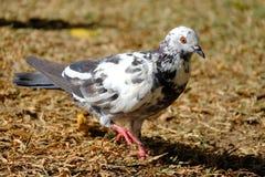 Wit Gray Pigeon & oranje oog Stock Afbeeldingen