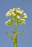 Wit Groot hoefblad (albus Petasites) Royalty-vrije Stock Foto