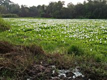 Wit het landschapsbos van het hyacint groen moeras Royalty-vrije Stock Foto
